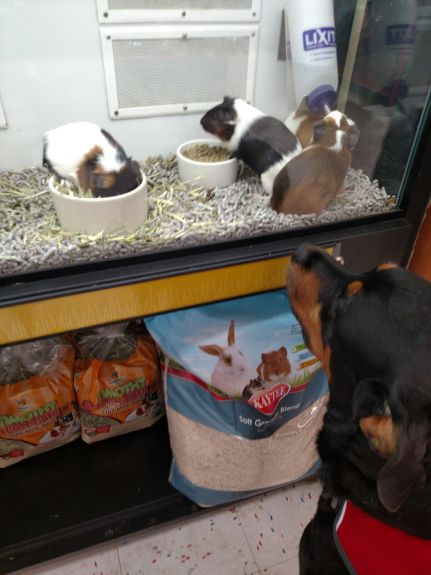 honeybear and guinea pigs